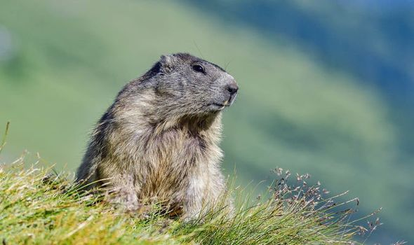 groundhog with pretty landscape