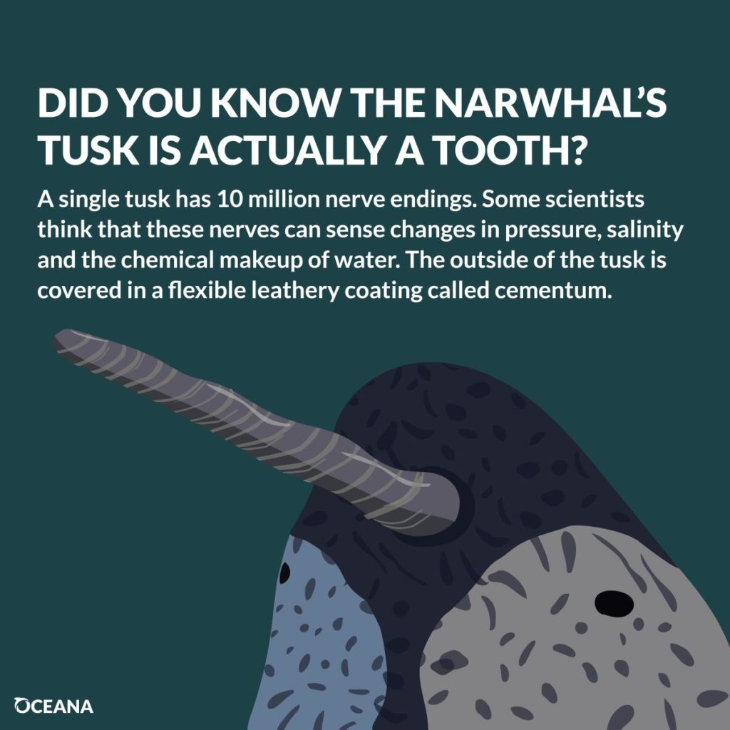 Narwhals tusk as tooth